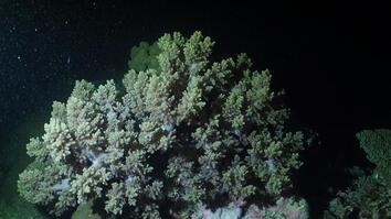 See 'Underwater Snowstorm' of Coral Reproducing