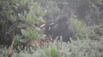 Watch Famous Dian Fossey Gorilla Cantsbee
