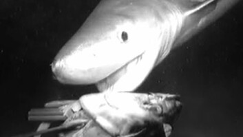 """Prehistoric"" Shark Seen Attacking Deep Bait"