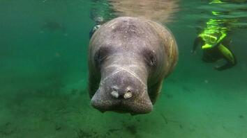 Manatee Death Toll Highest Ever Recorded