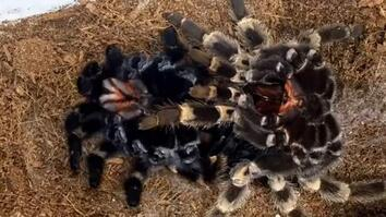 Watch a Time-Lapse of a Tarantula Crawling Out of Its Own Skin