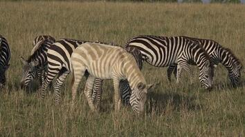 Why Is This Zebra Unusually Pale?