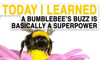 TIL: A Bumblebee's Buzz Is Basically a Superpower