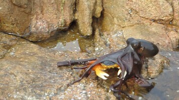 Octopus Attacks Crab on Land