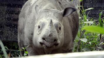 Meet Puntong the Rhino