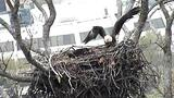 Bald Eagle Webcam Highlights