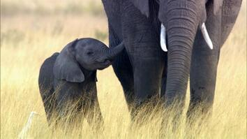 Why Elephants May Go Extinct in Your Lifetime