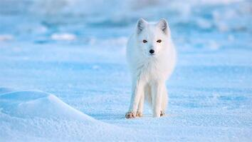 Meet the small Arctic animals that conquer their big polar world