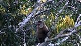 Wedge-capped Capuchin