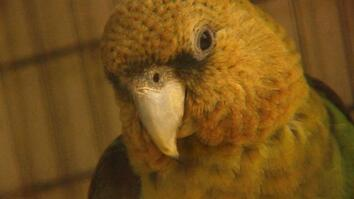 Rescuing the Endangered Cape Parrot