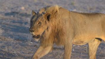 Living With Lions in Namibia