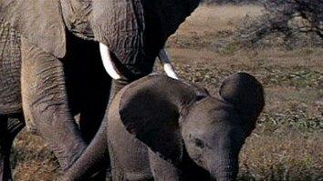 Goofy Baby Elephant