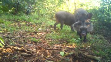 Rare Pigs Caught on Video for the First Time