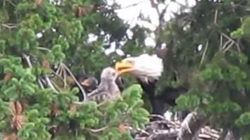 Usually Enemies, Bald Eagles Adopt Red-Tailed Hawk Chick