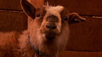 Client Tales: Ginger the Goat