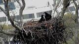 Bald Eagle Webcam Chicks