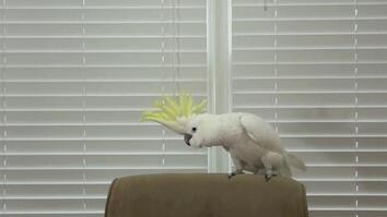 Snowball the Cockatoo Can Dance Better Than You