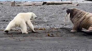 Mother Polar Bear, Desperate for Food, Tests Walrus