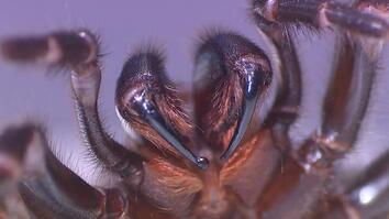 Milking This Deadly Spider Can Save Lives