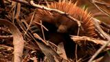 World Weirdest: Echidna