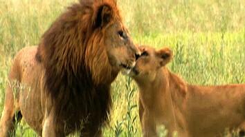 Male Lions vs. Female Lions