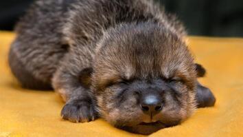 Watch Rare Mexican Wolf Pups Meet Their Wild Foster Families