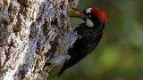 Hoarders: Acorn Woodpeckers