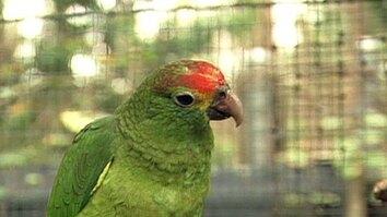 Parrot Gene Pool