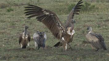 Vultures Are Disgusting Eaters—Here's Why That's a Good Thing