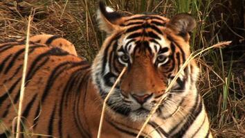 Tigers Hunted