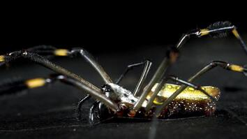 Meet a Spider That Spins Webs of Gold Silk