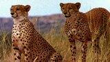 Animal Mothers: Cheetah vs. Gemsbok