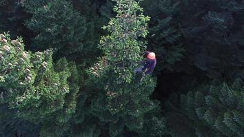Watch: Christmas Tree Harvesting Is Gravity-Defying (and Sometimes Illegal)