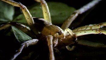 Fishing Spider Eating Frogs