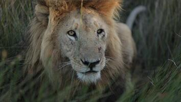 How a New Generation Is Saving Zambia's Lions