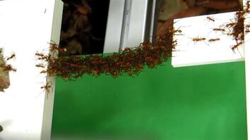See How Ants Build Bridges in Mid-Air With Just Their Bodies