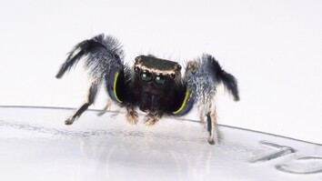 For Jumping Spiders, Choosing the Wrong Mate Turns Deadly