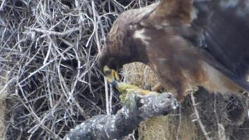 Shocking Video Shows Hawk Beheading Its Prey