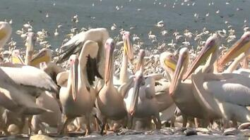 50,000 Pelicans Descend on Israel for a Free Lunch