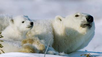 Polar bear cubs must grow up fast in the unpredictable Arctic