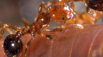 Fire Ants Kill