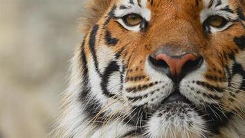 Tigers 101