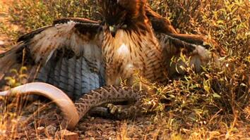 World's Deadliest: Rattlesnake vs. Hawk