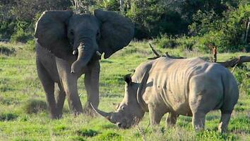 Face-off: Playful Elephant vs. Tense Rhino