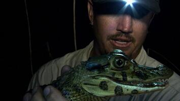 Catching Black Caimans