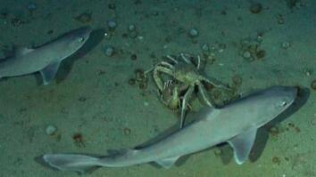 Mating Crabs Busted by Sharks
