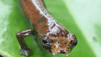 'Ugly' Salamander, New Frog Found