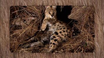 Serval Birth