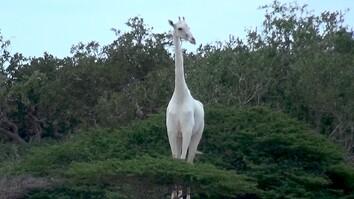 Rare White Giraffes Spotted