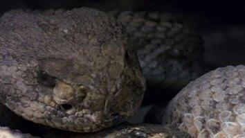 Rattlesnakes Display & Mate